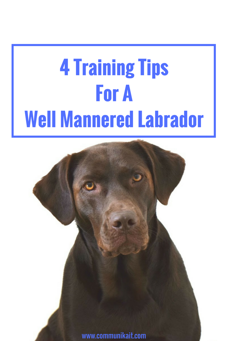 4 Training Tips For A Well Mannered Labrador