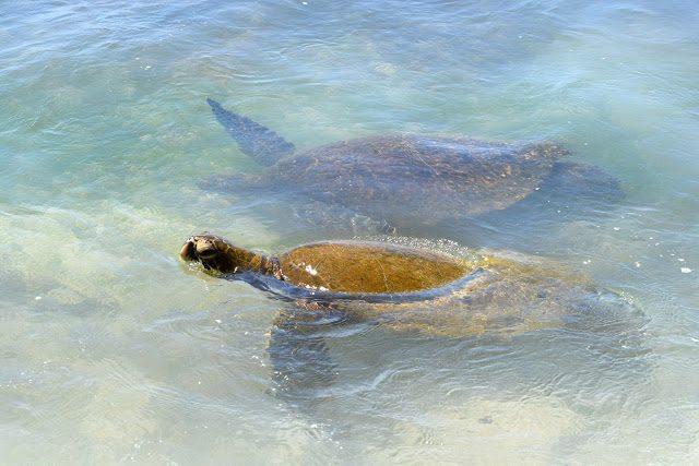 Turtles In The Wild | Oahu, Hawaii