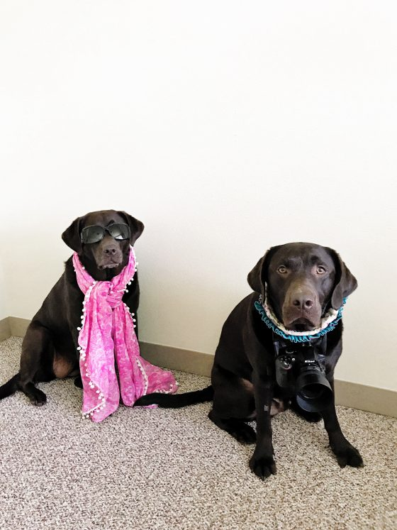 Fashion Blogger and Instagram Husband - Dog Halloween Costumes - Chocolate Labs