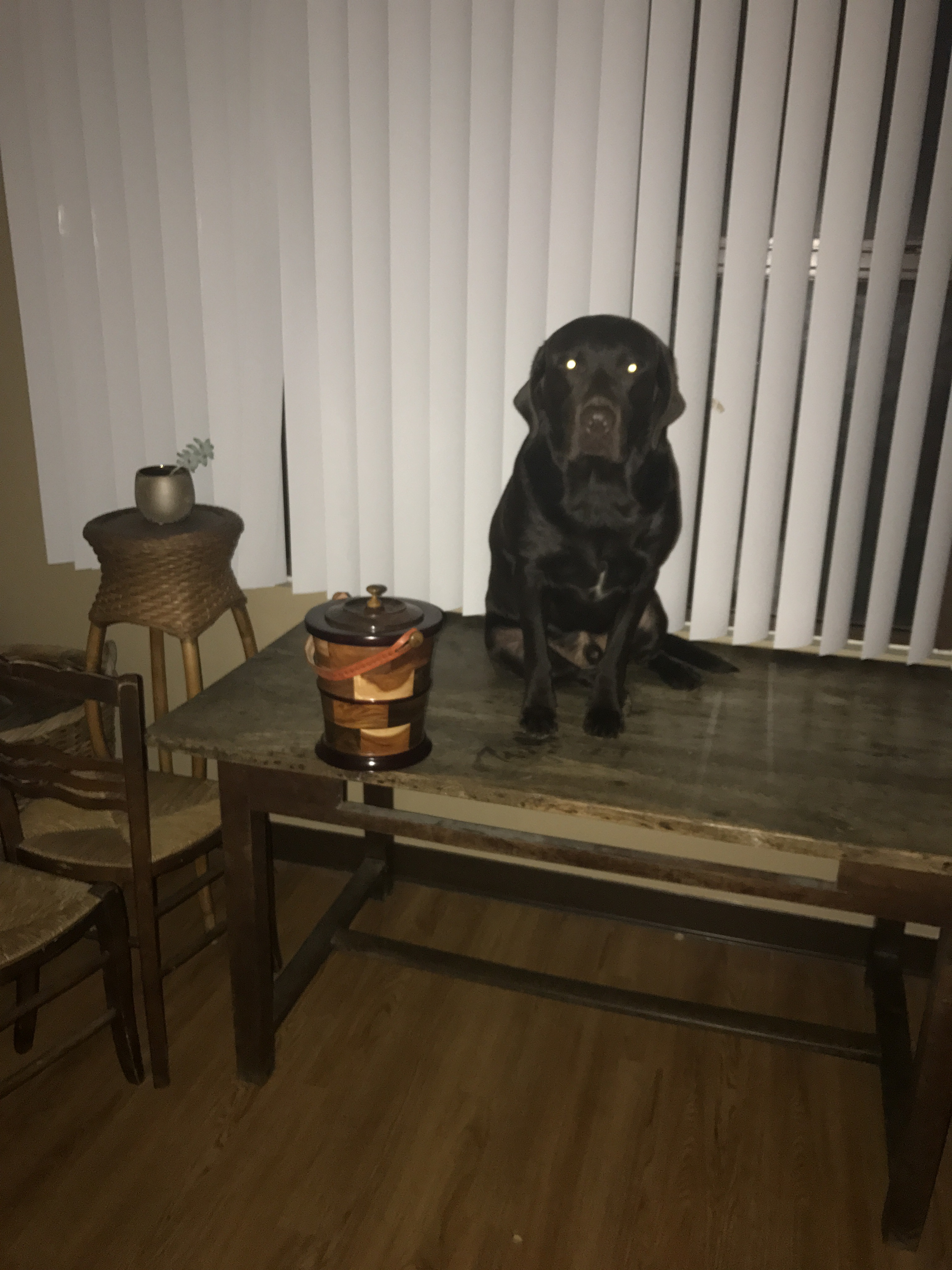 Chocolate Lab on A Table
