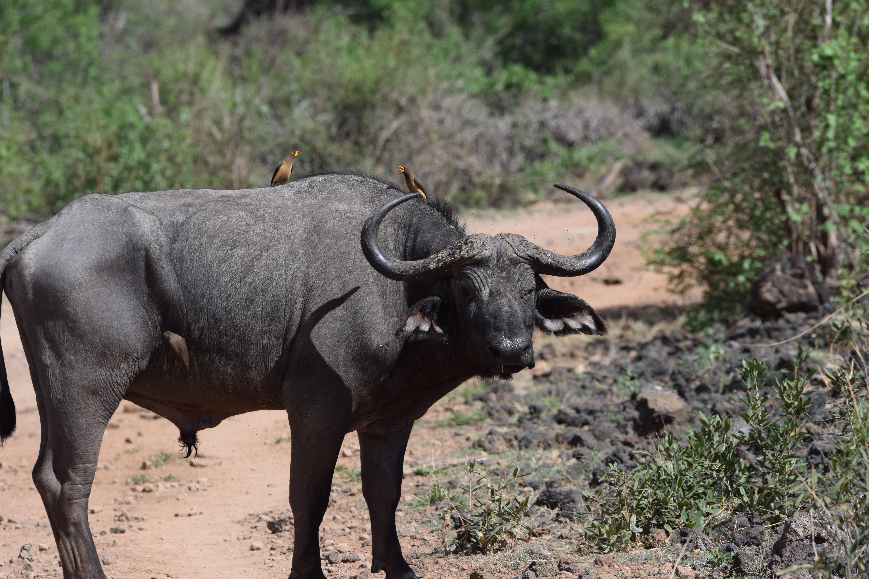 Our Stay At Finch Hattons Luxury Camp In Tsavo National Park, Kenya - Kenya Safari - Kenya Safari Tours - Safari Kenya - Safari Trips In Kenya - Trip To Kenya - Kenyan Safari - How To Plan A Safari - Kenya Safari Guide - Kenya Wildlife - Kenya Trip - Travel To Kenya - Guide To Kenya