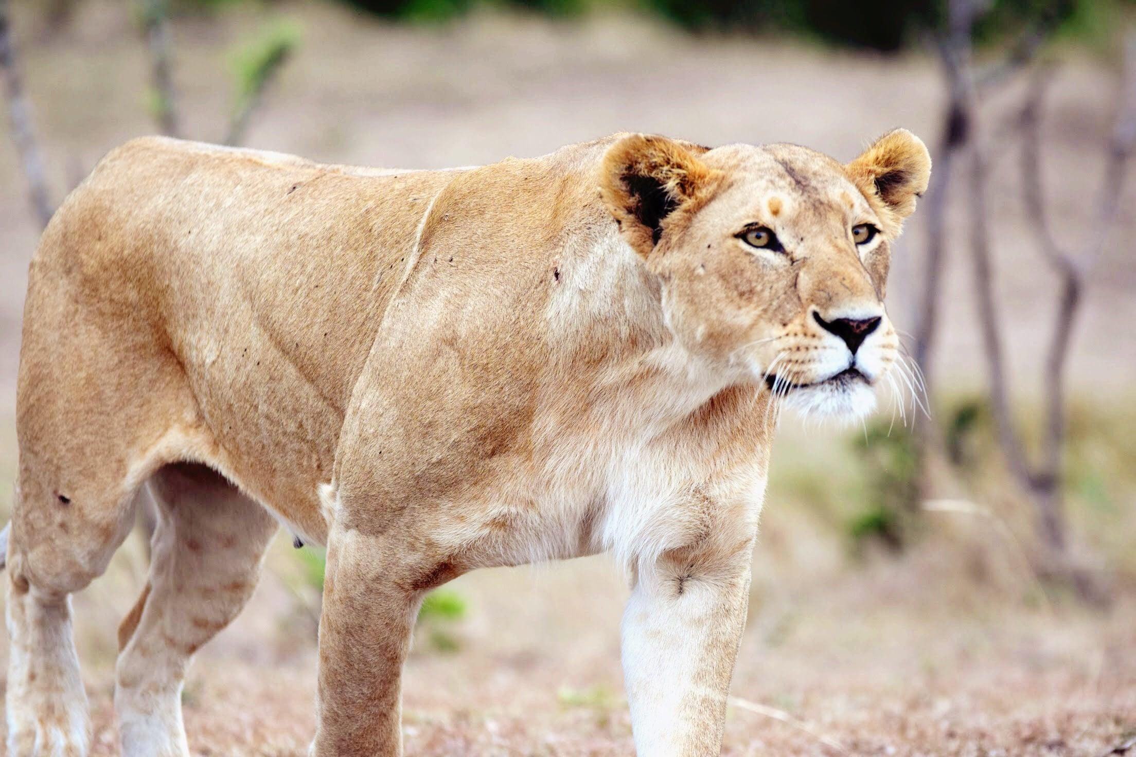 Our Stay At Sir Richard Branson's Mahali Mzuri In Maasai Mara, Kenya -- Kenya Safari - Kenya Safari Tours - Safari Kenya - Safari Trips In Kenya - Trip To Kenya - Kenyan Safari - How To Plan A Safari - Kenya Safari Guide - Kenya Wildlife - Kenya Trip - Travel To Kenya - Guide To Kenya - Maasai Mara