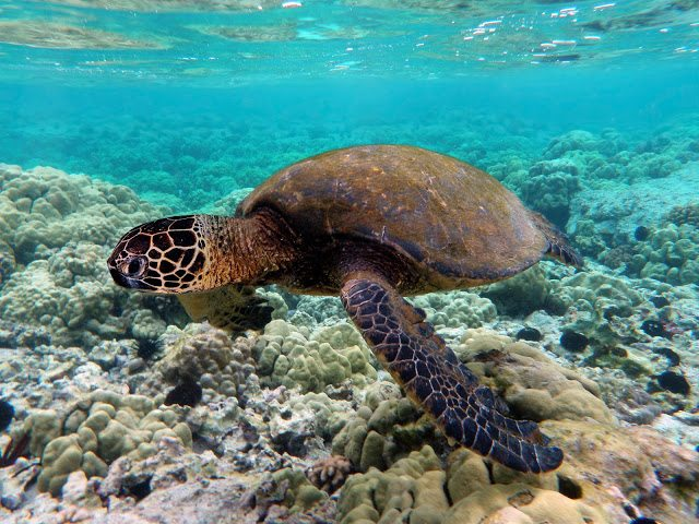 Turtle Town - 5 Best Places To Snorkel On Maui - Best Snorkeling Maui - Where To Snorkel Maui - Snorkeling Maui Hawaii - Maui Snorkeling - Snorkeling Maui - Best Snorkeling In Maui - Maui Snorkeling Tours - Best Snorkeling Beaches In Maui - #hawaii #maui #travelblog