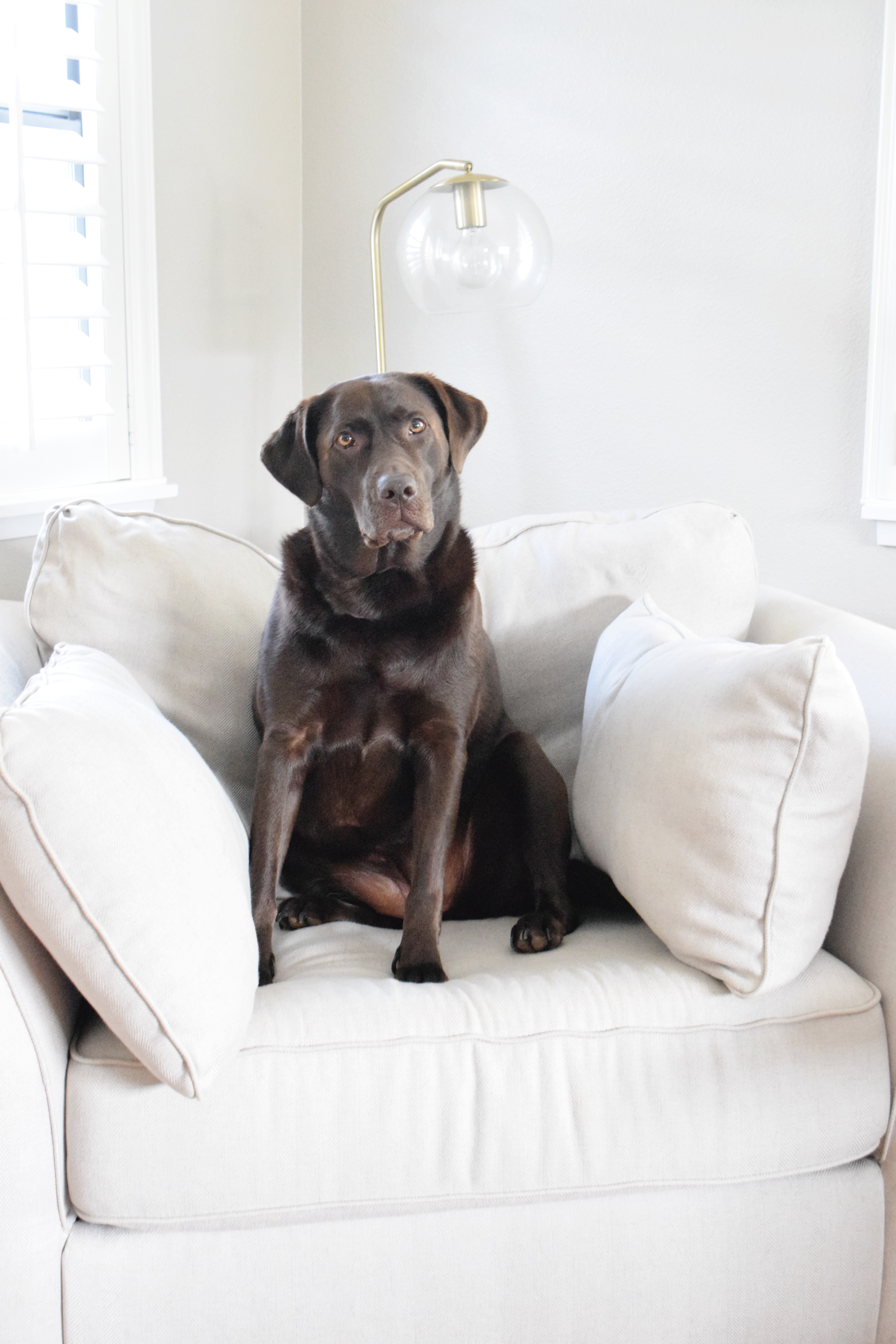 Oversized Cream Chair - Chocolate Labradors - Hawaiian Home Feature on Apartment Therapy - CommuniKait