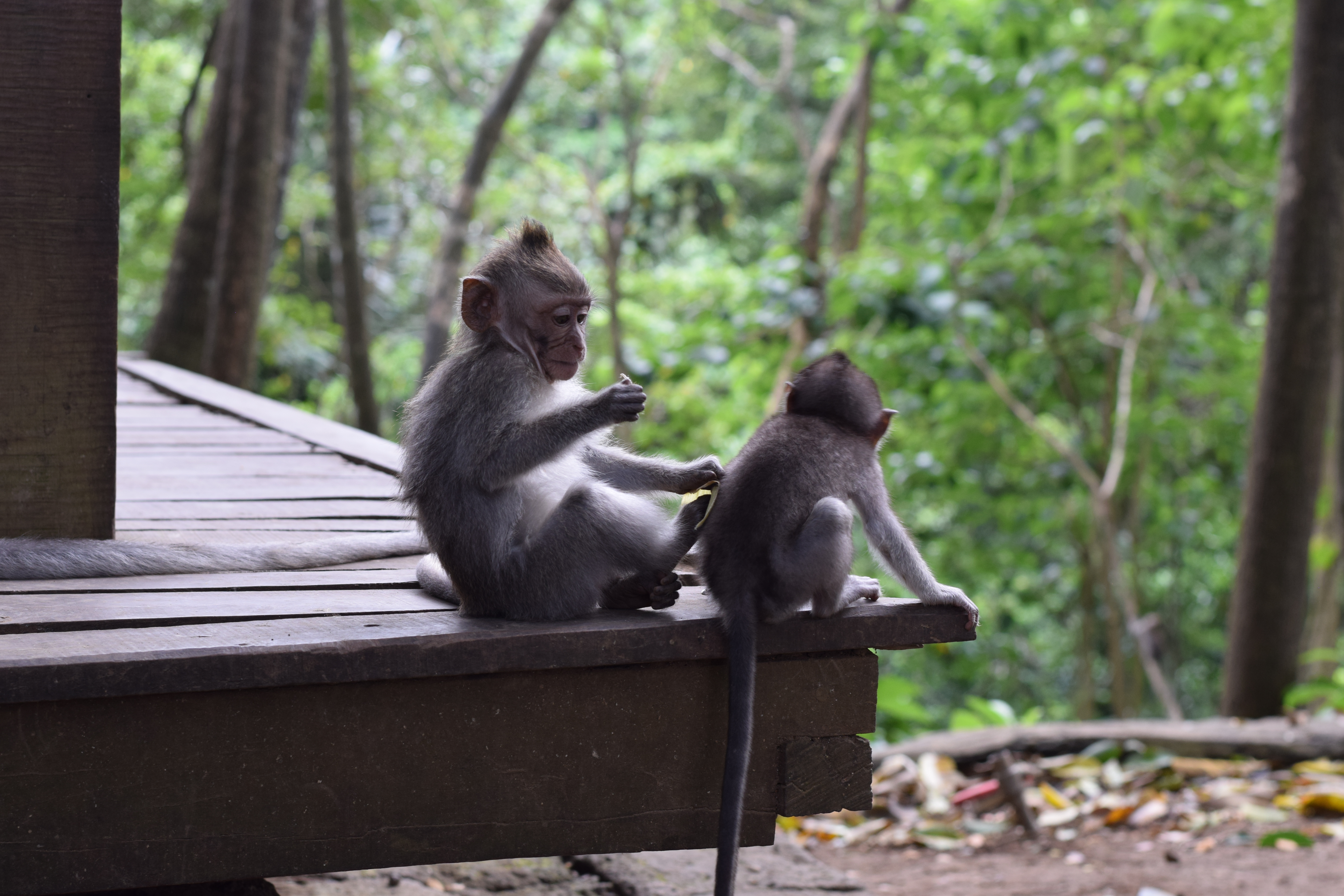 Monkey Sanctuary + Forest Ubud, Bali, Indonesia - Our Bali Trip - 12 Things You Can't Miss In Ubud Bali - Ubud Bali - Ubud Monkey Forest - Ubud Travel Blog - Ubud Bali Hotels - What To Do In Ubud - #ubud #bali #travelblog