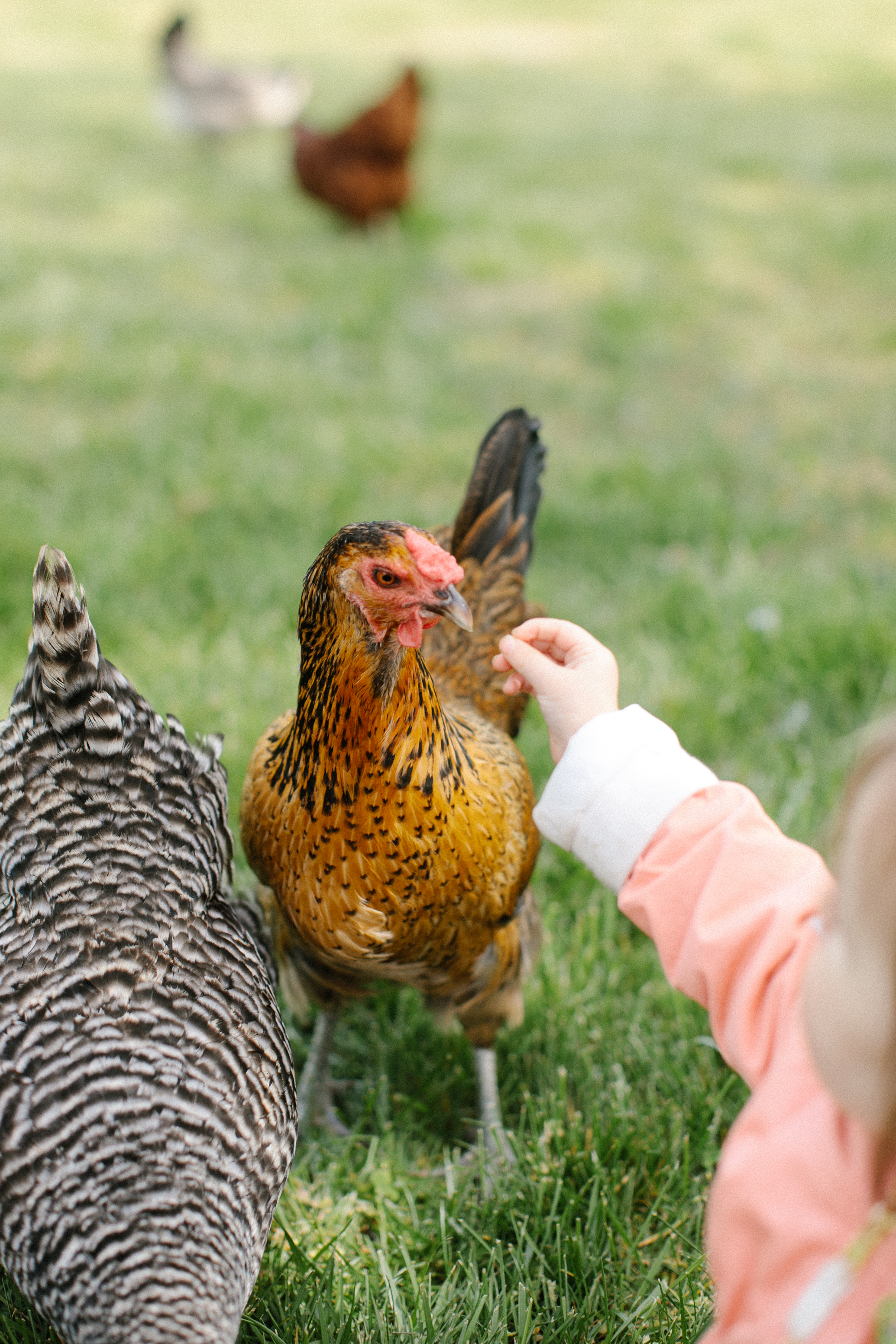 How To Raise Chickens - Everything You Need To Know To Start Your Own Sustainable Chicken Coop - Owning and Raising Chickens - Sustainable Living - Raising Backyard Chickens - DIY Chicken Coop - Chickens At Home - Chickens For Beginners - Communikait by Kait Hanson
