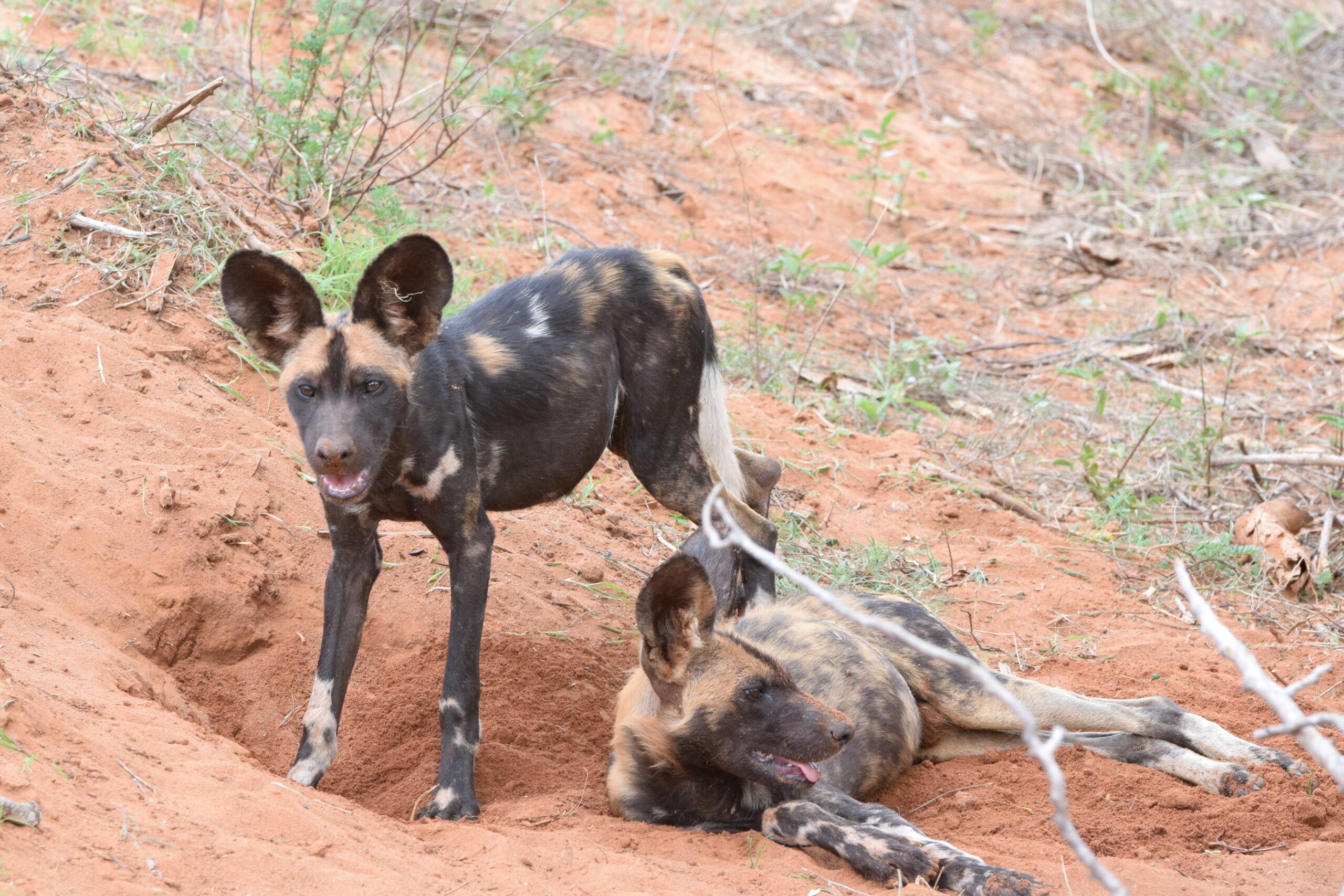 Wild dogs in Kenya