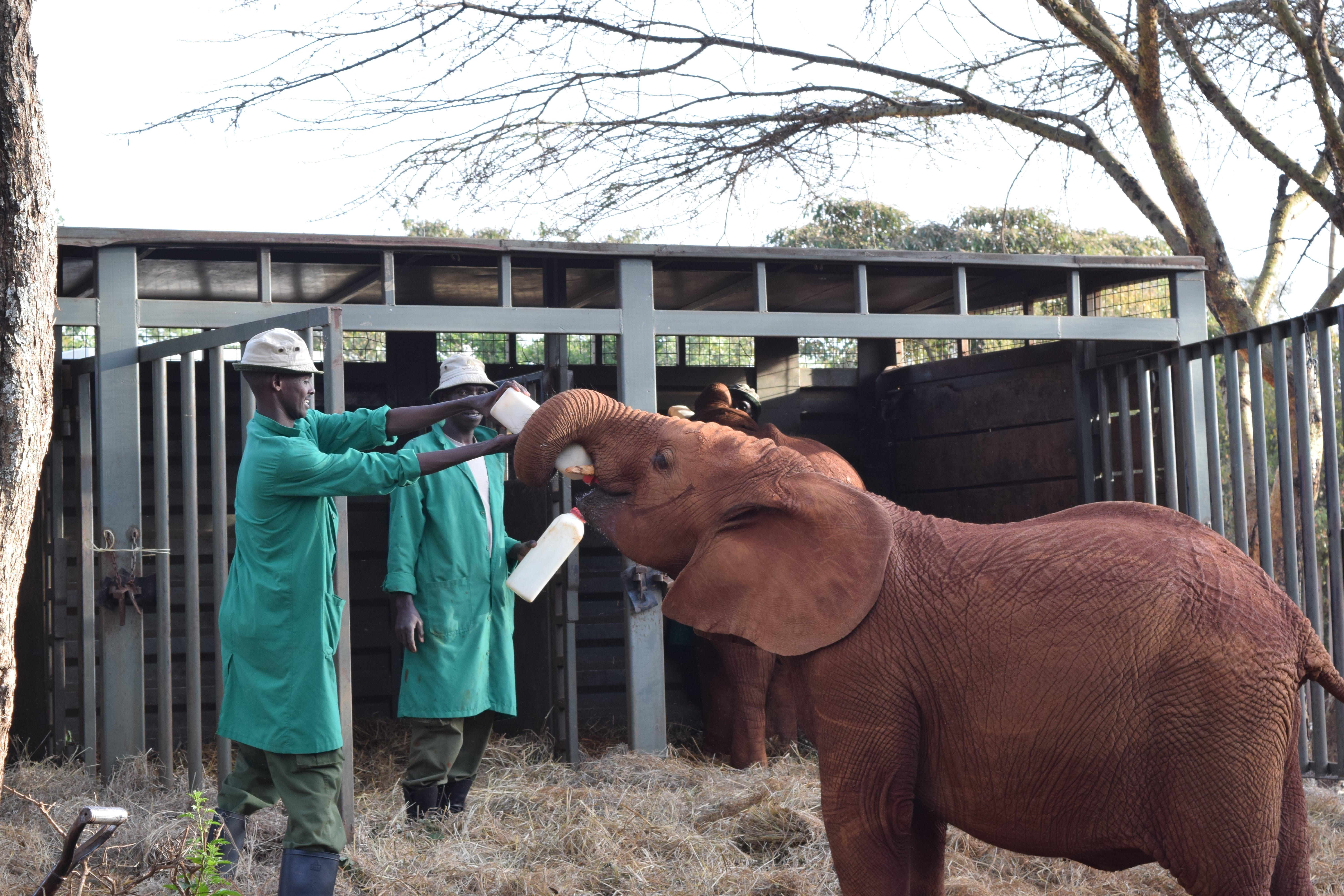 David Sheldrick Wildlife Trust - Adopting an elephant at DSWT - How To Spend 24 Hours In Nairobi, Kenya - Hemingways Nairobi - What to do in Nairobi - Nairobi, Kenya - Kenya Safari - Kenya Safari Tours - Safari Kenya - Safari Trips In Kenya - Trip To Kenya - Kenyan Safari - How To Plan A Safari - Kenya Safari Guide - Kenya Wildlife - Kenya Trip - Travel To Kenya - Guide To Kenya