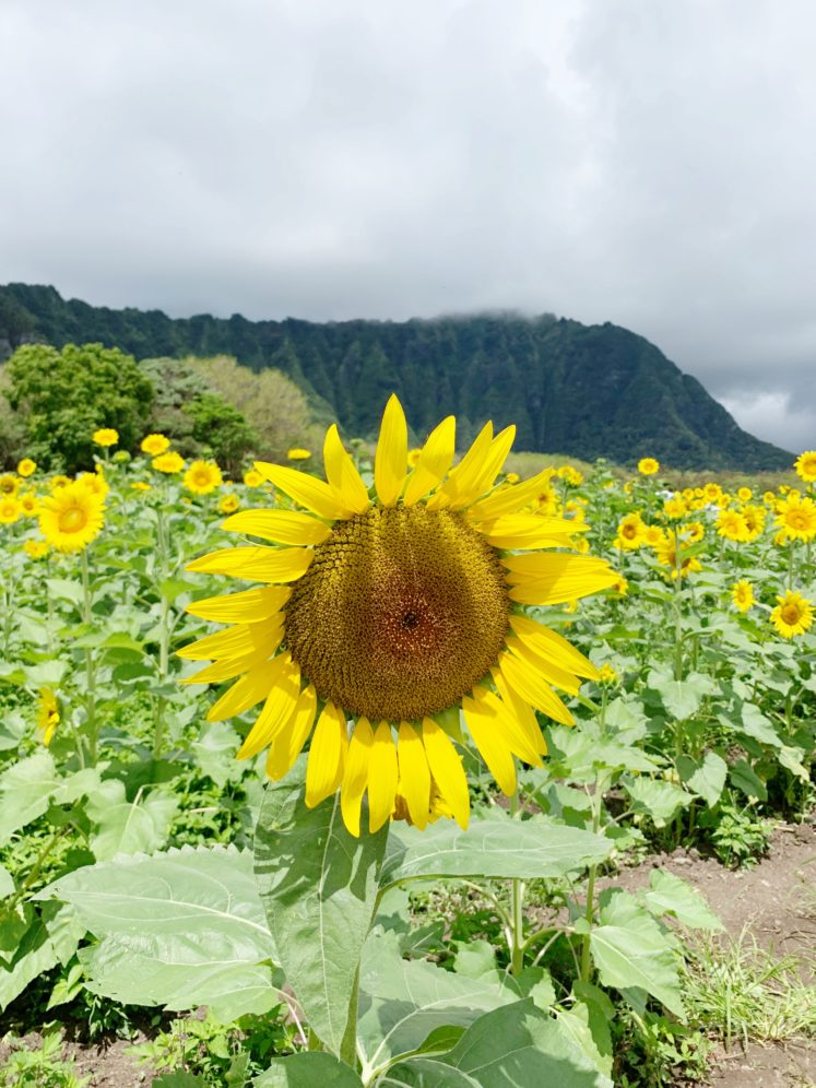 Visiting The Waimanalo Country Farms Sunflower Field