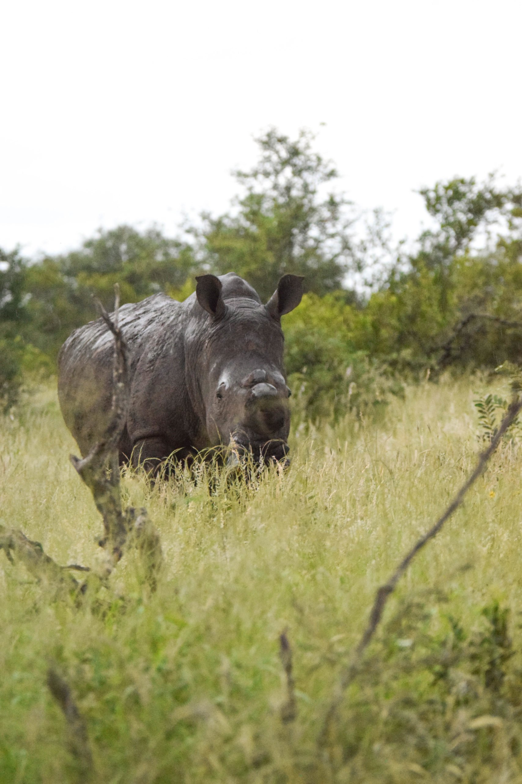 De-horned Rhino, South Africa