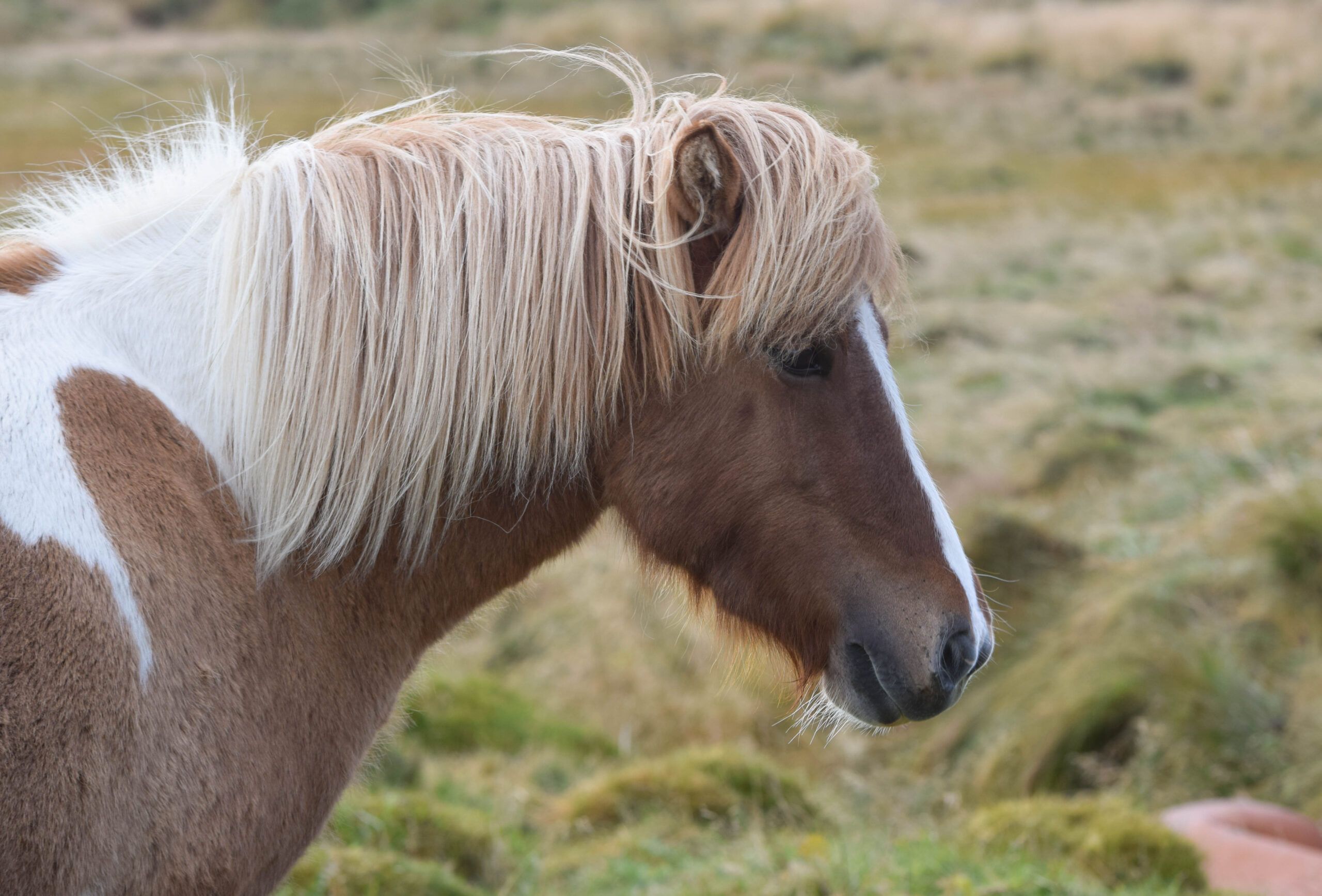 Brown Icelandic Horse with White Mane