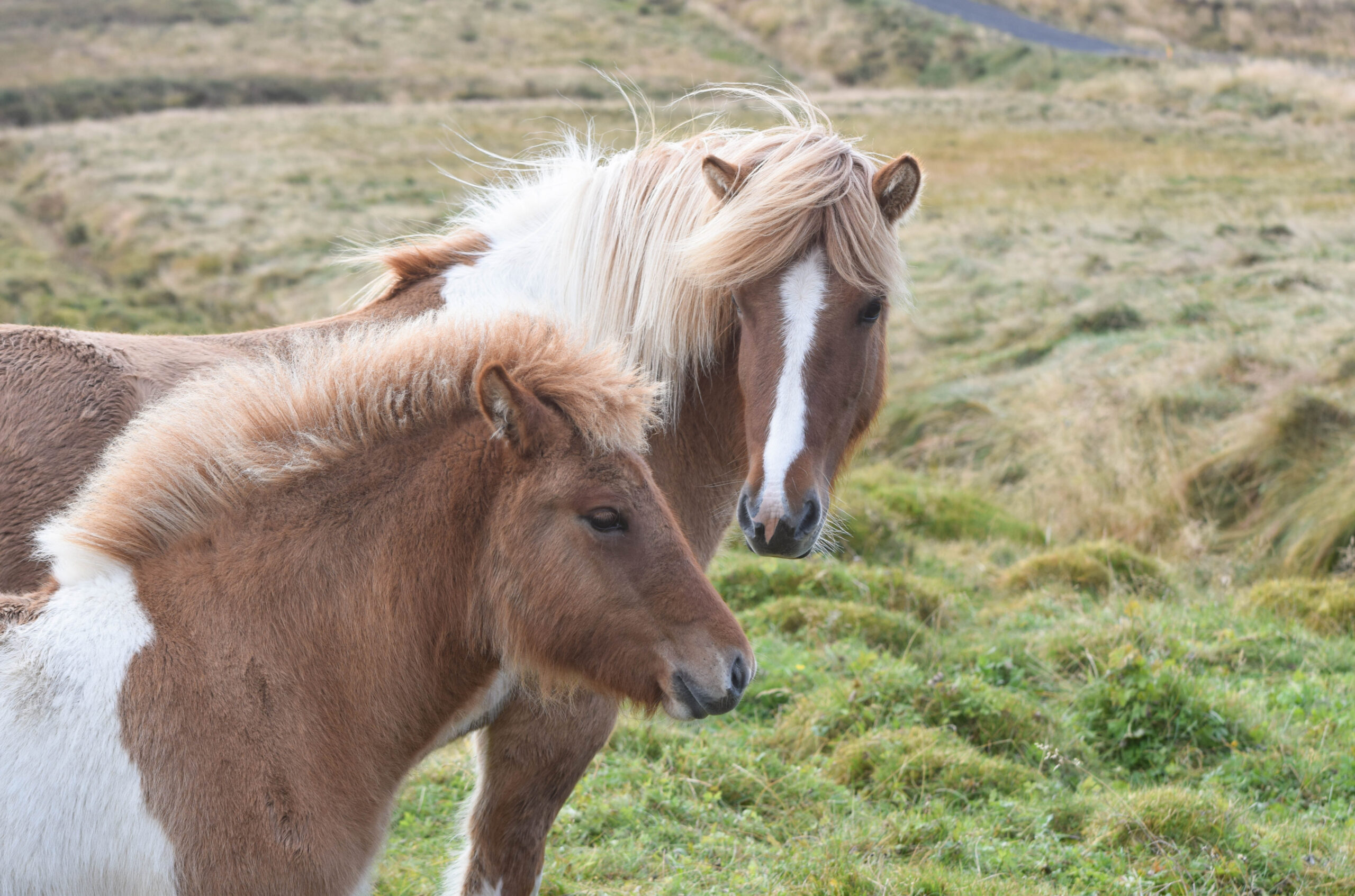 Mom and Baby Iceland Horses
