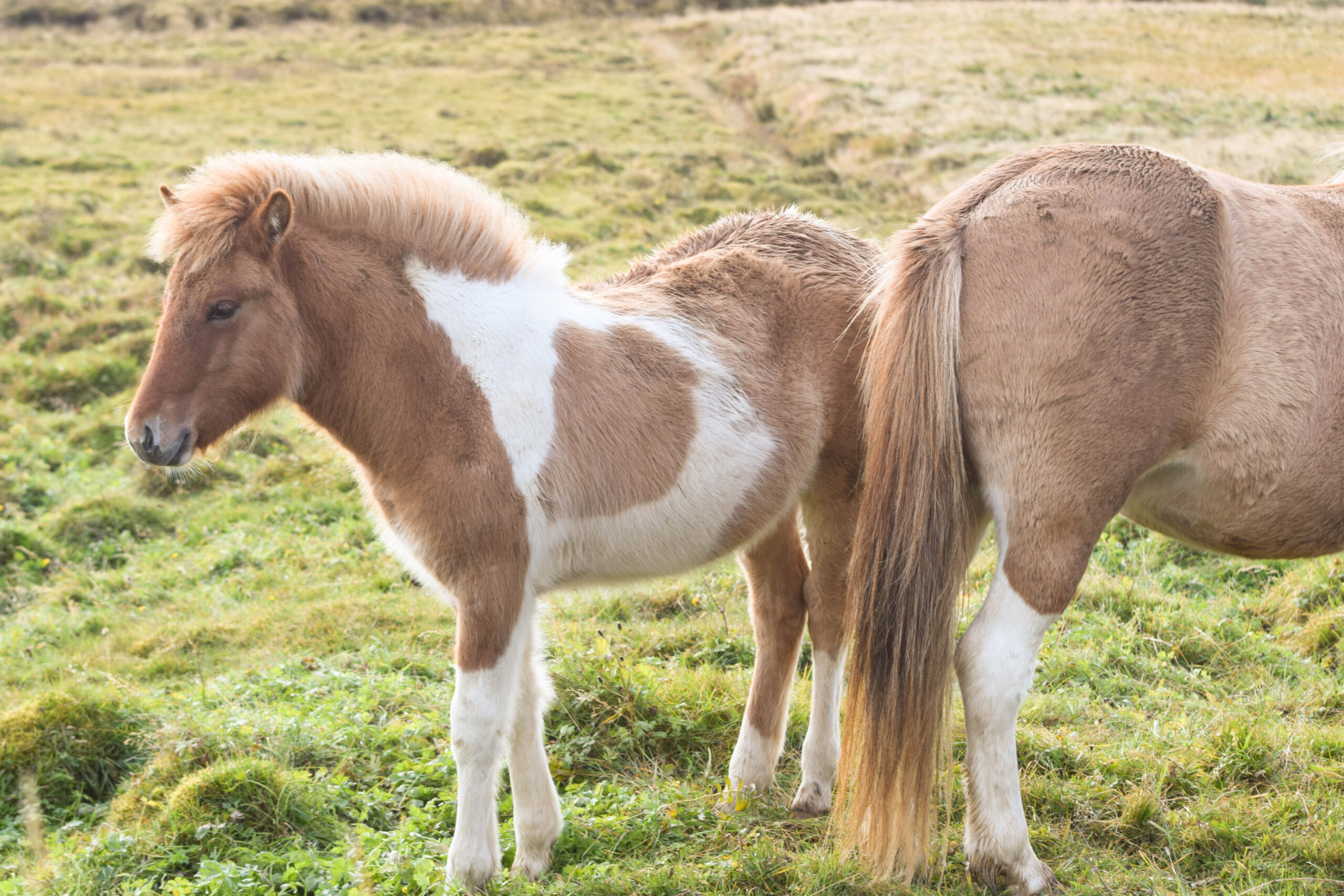 Baby Horse In Iceland