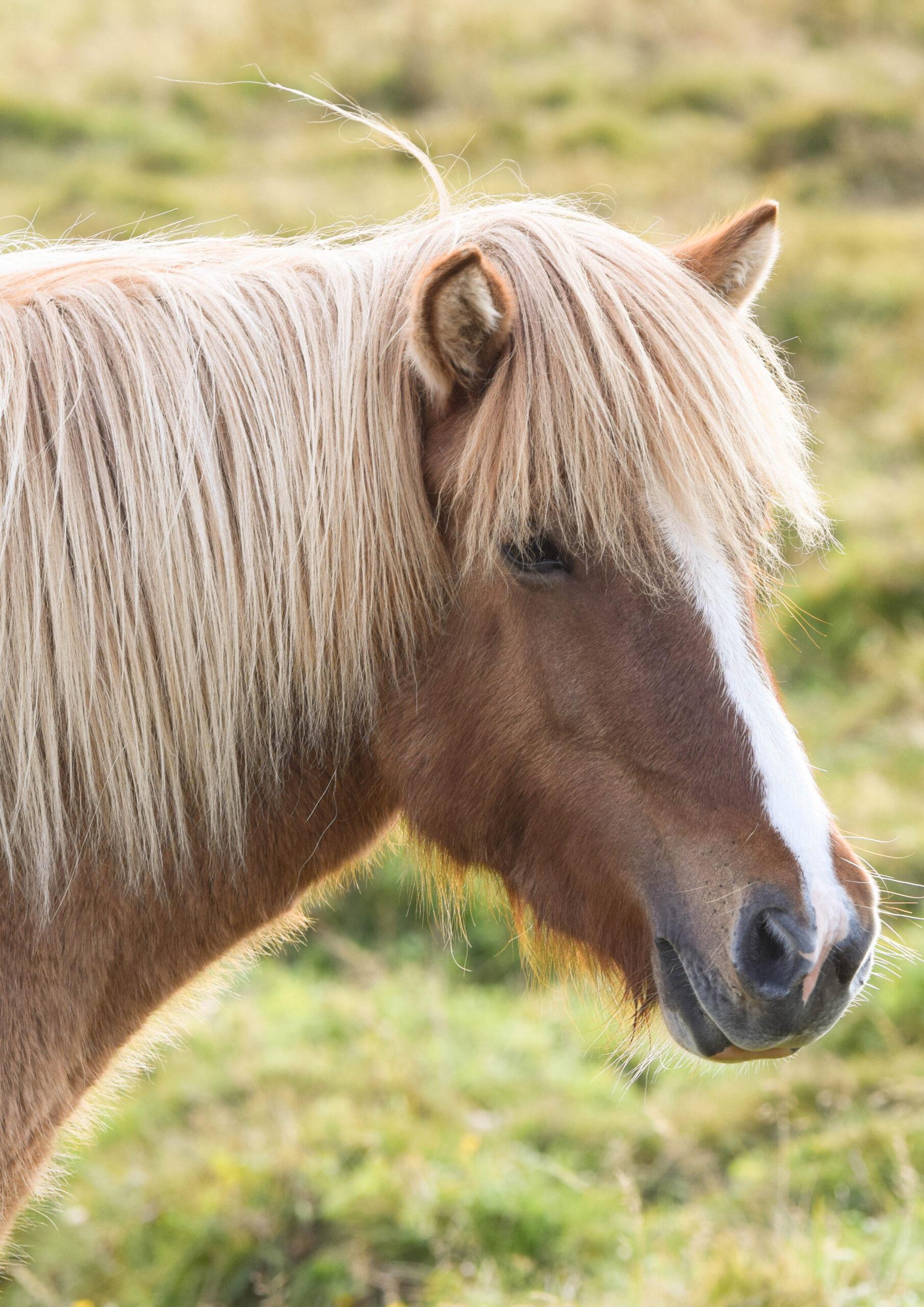 Icelandic Horse with Tan Mane