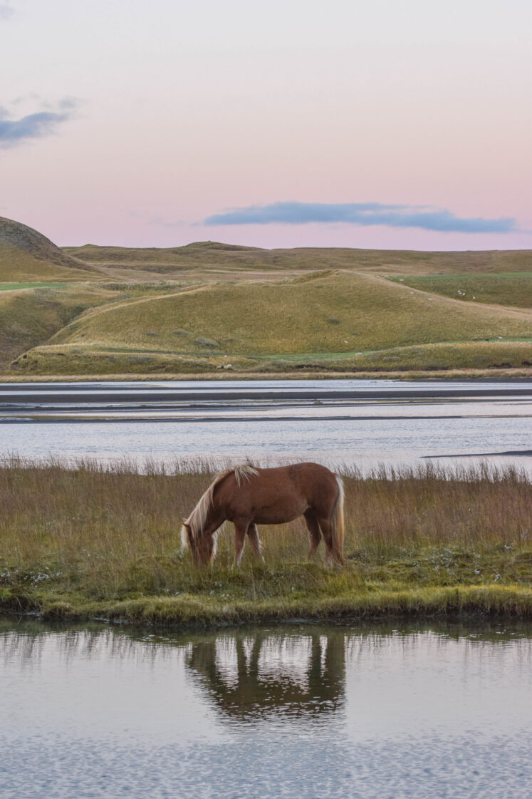 Icelandic Horse at Sunset
