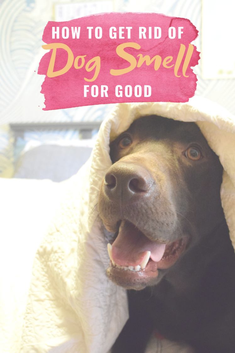 How To Get Rid of Dog Smell - Looking to get rid of the odor that comes along with owning dogs? Today I'm sharing how to get rid of dog smell in your house! | Dog Stink - Dog Smell In House - Get Rid Of Dog Smell - Dog Stink in House - How to get pee smell out of carpet
