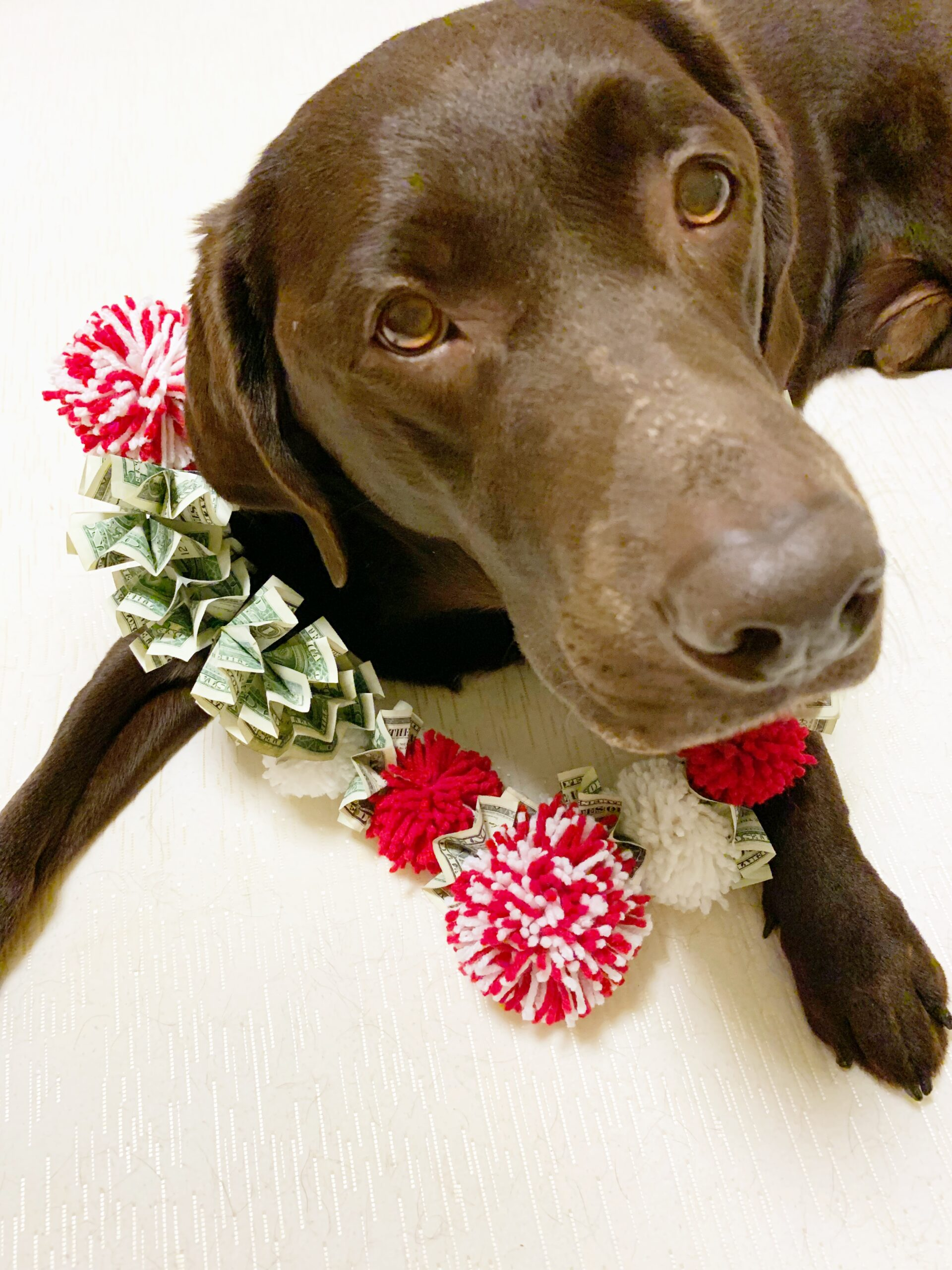 Dog Wearing A Money Lei