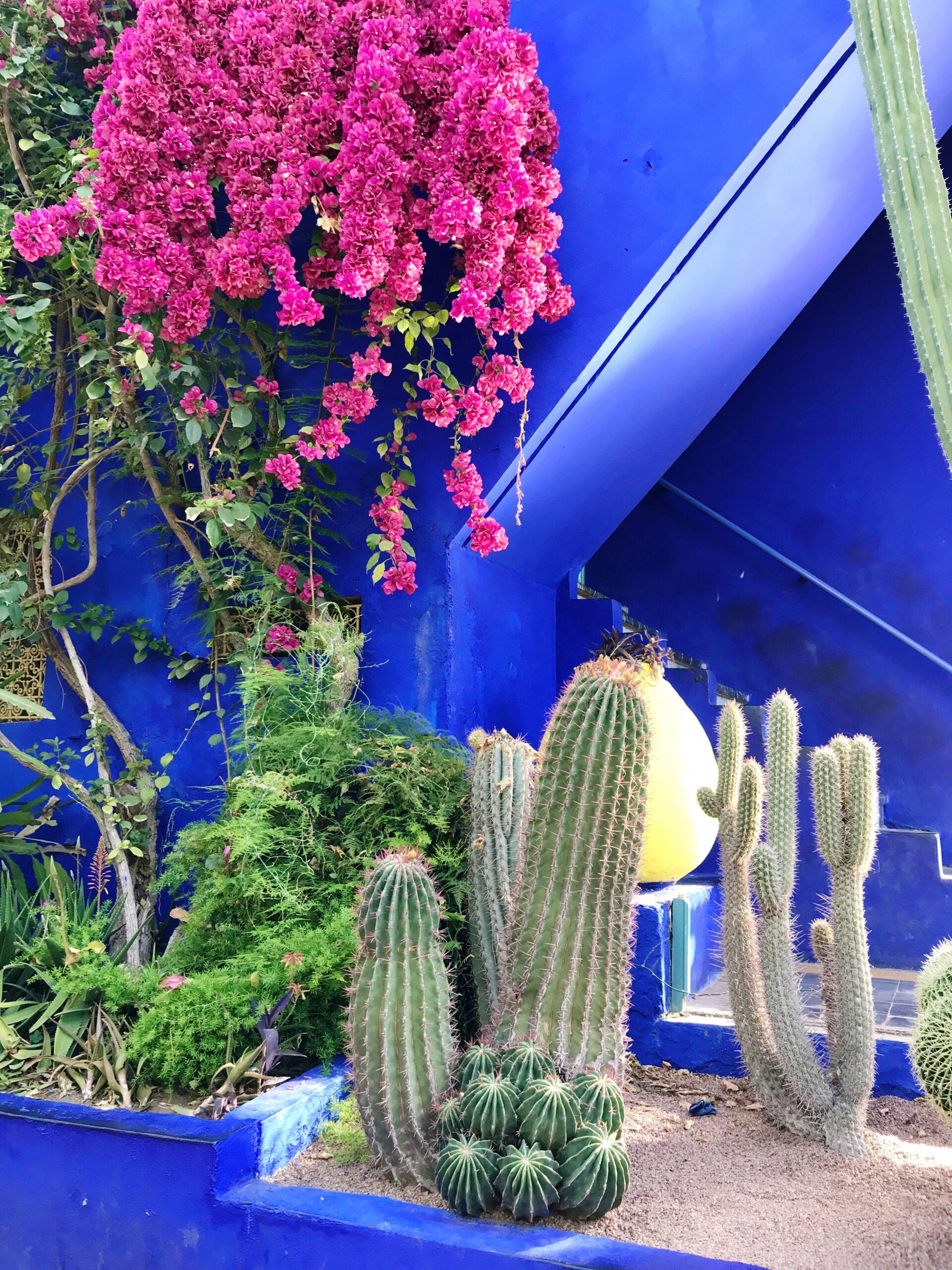 Cacti and Pink Bougainvillea - Majorelle Garden