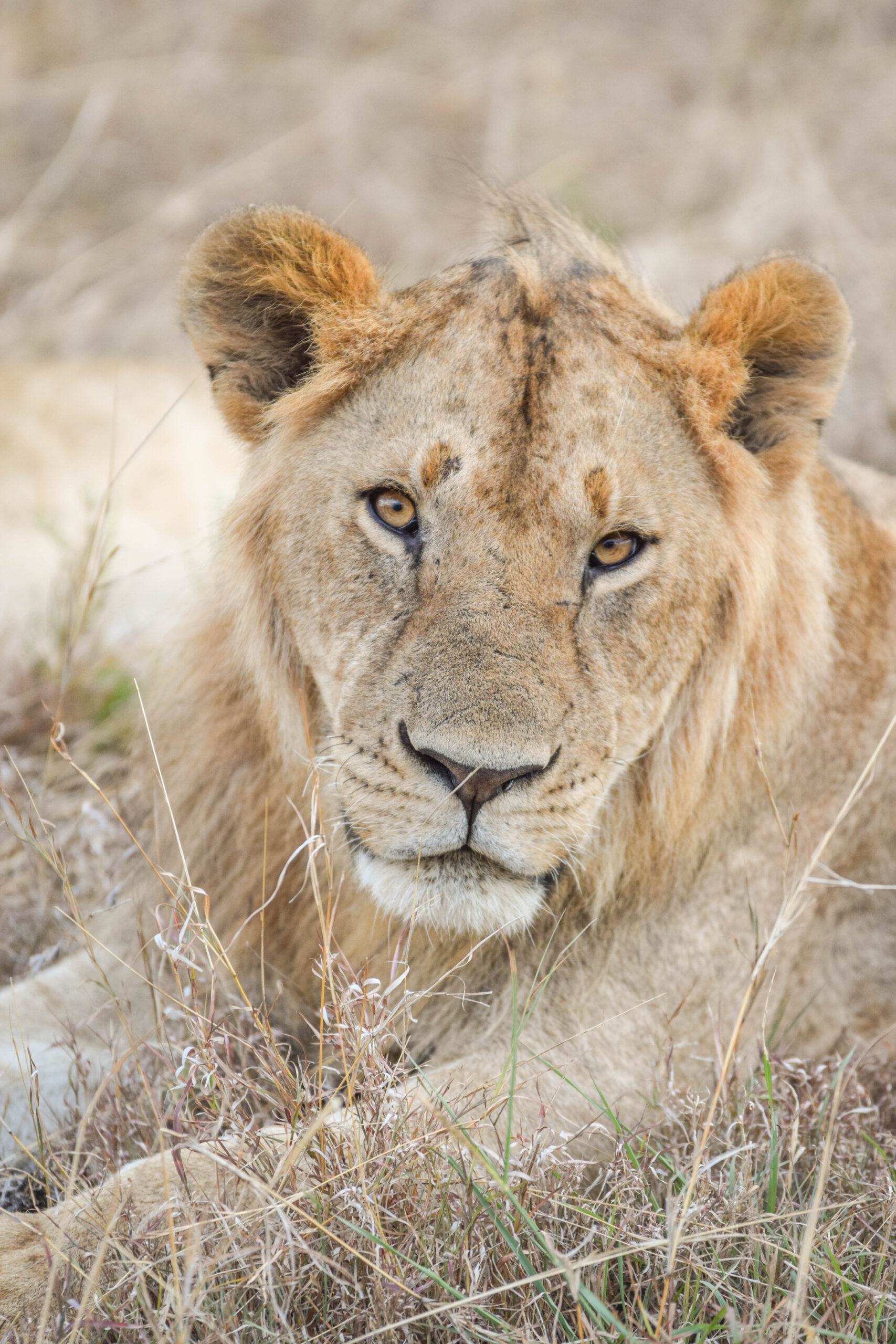 Lions In Kenya - Dreaming after a safari in Kenya? Here is my photo diary of the majestic lions (and lionesses) of Kenya! | Kenya Travel - African Wildlife - Safari Photography - Kenyan Wildlife