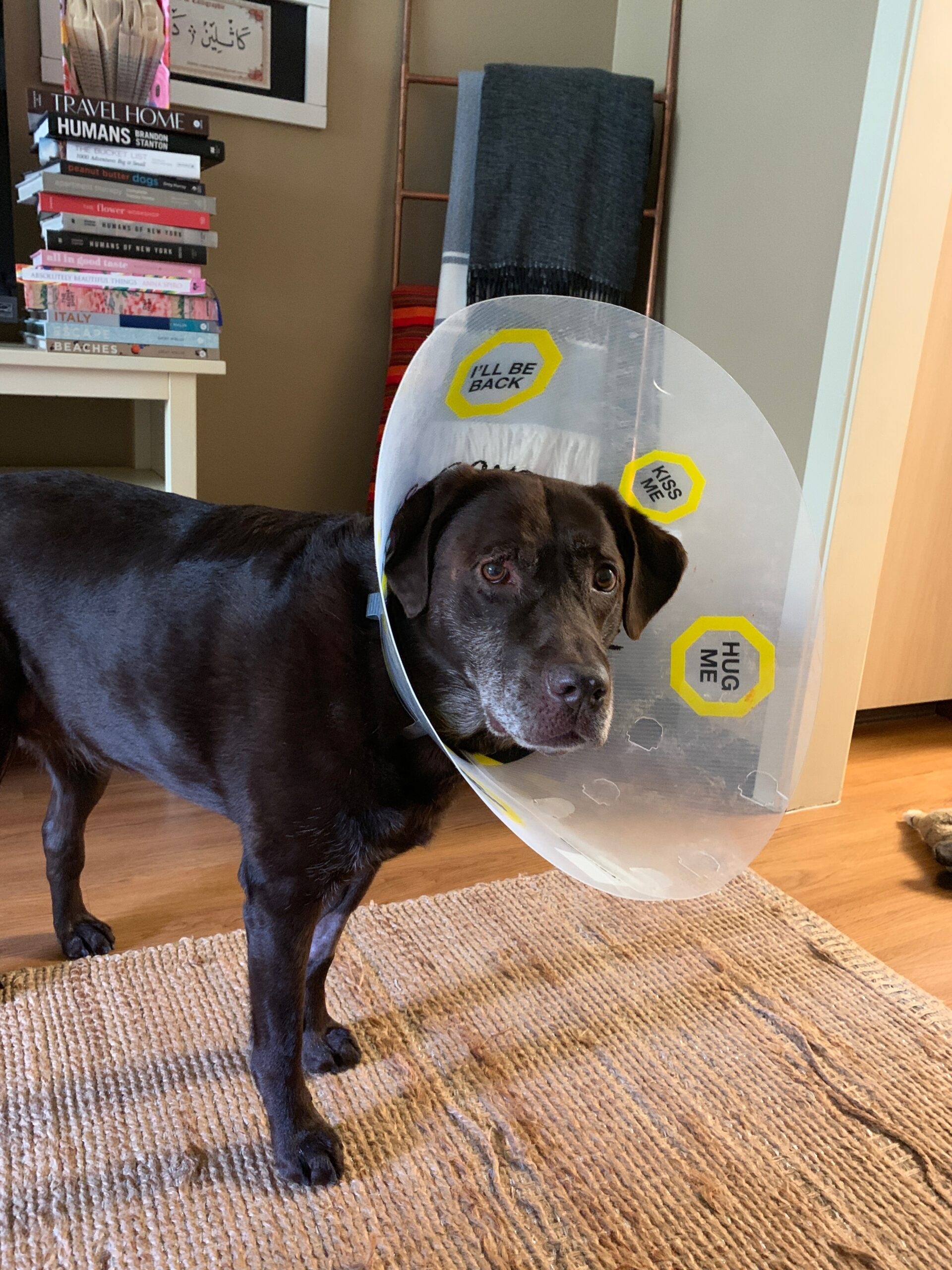 Chocolate Lab wearing a cone after surgery