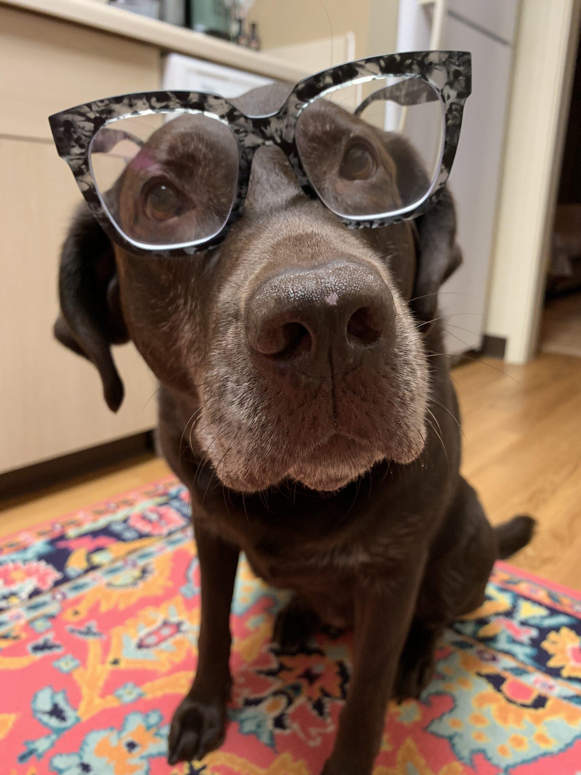 Chocolate Lab wearing glasses