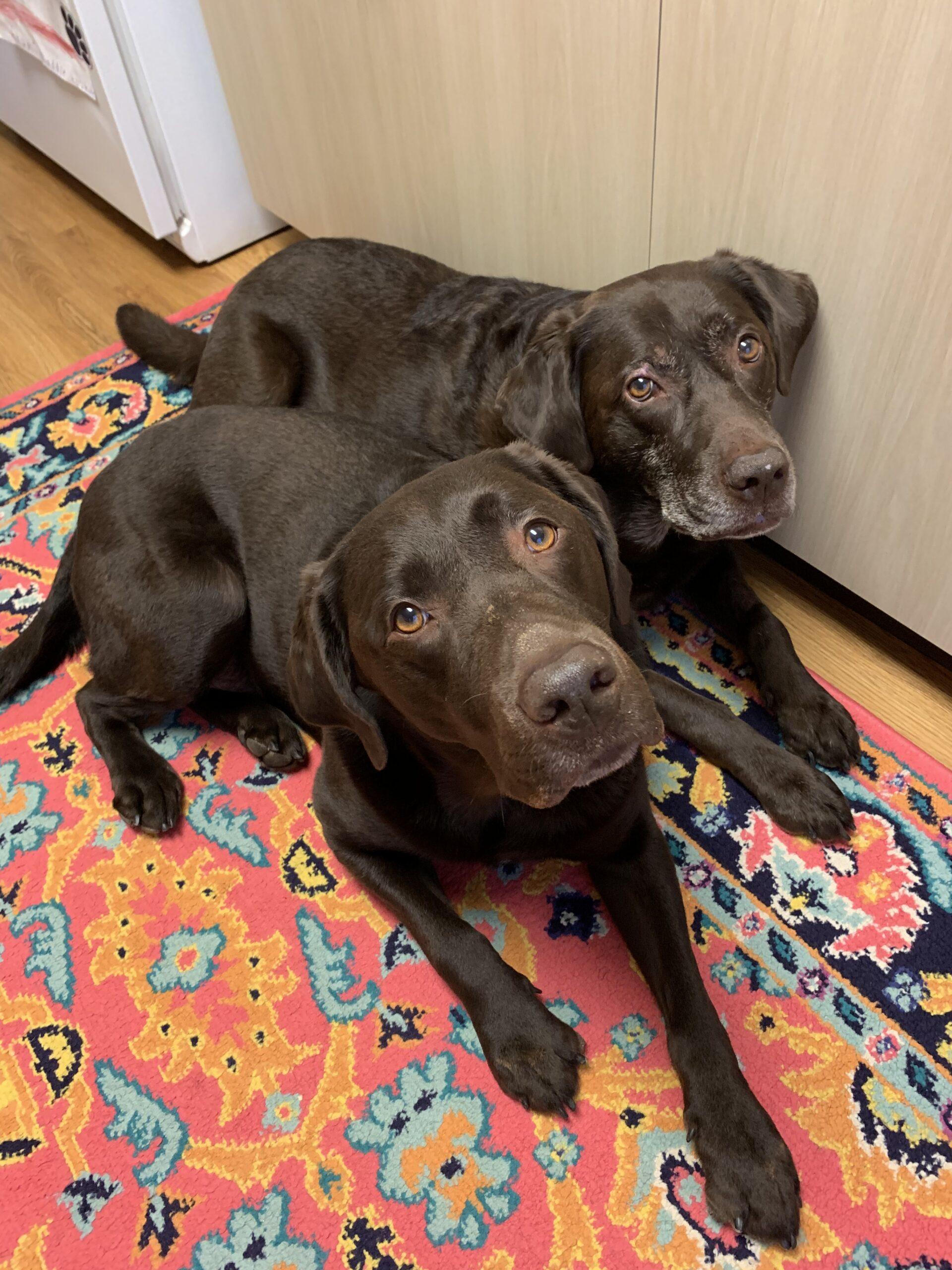 Two chocolate Labs laying on a colorful rug